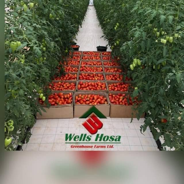Wells Hosa Greenhouse Farms Targets 4,200 Tons Of Tomatoes